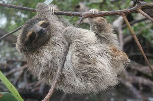 Pygmy Tree Sloth